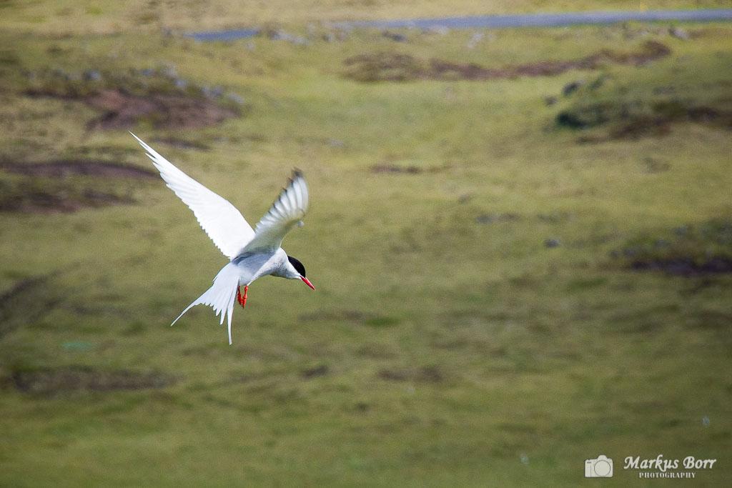 Dyrholaey Vogelfelsen  in Vik
