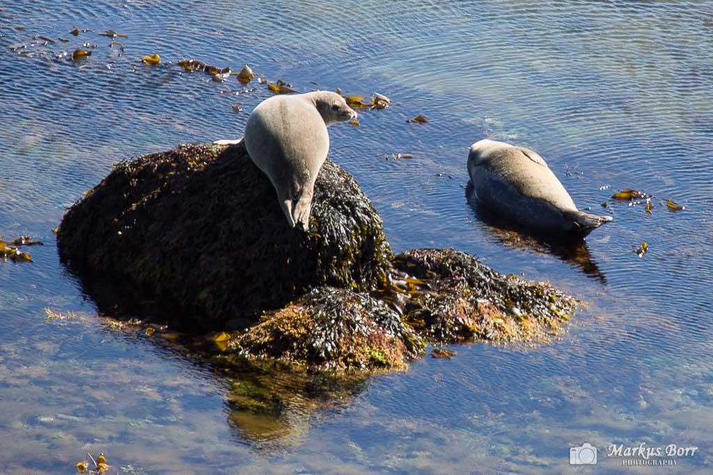 Seelöwen in den Westfjorden
