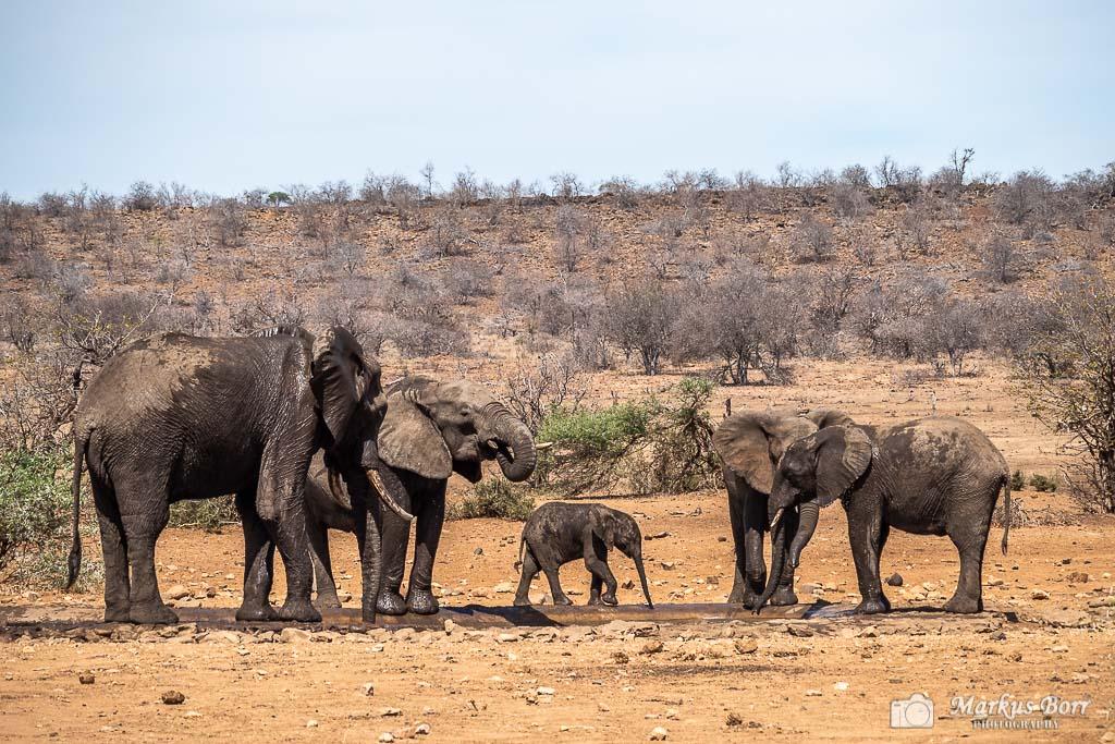 Elefant im Krüger