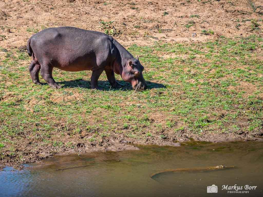 Flusspferd im Krüger