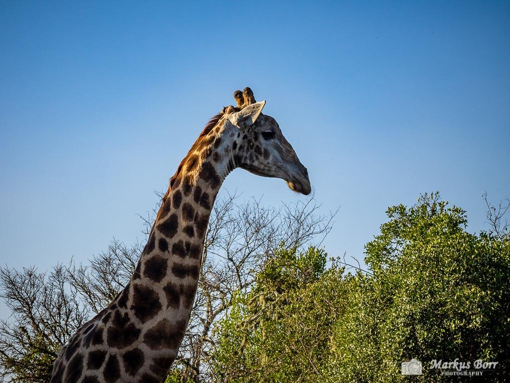 Giraffe Soutpansberge