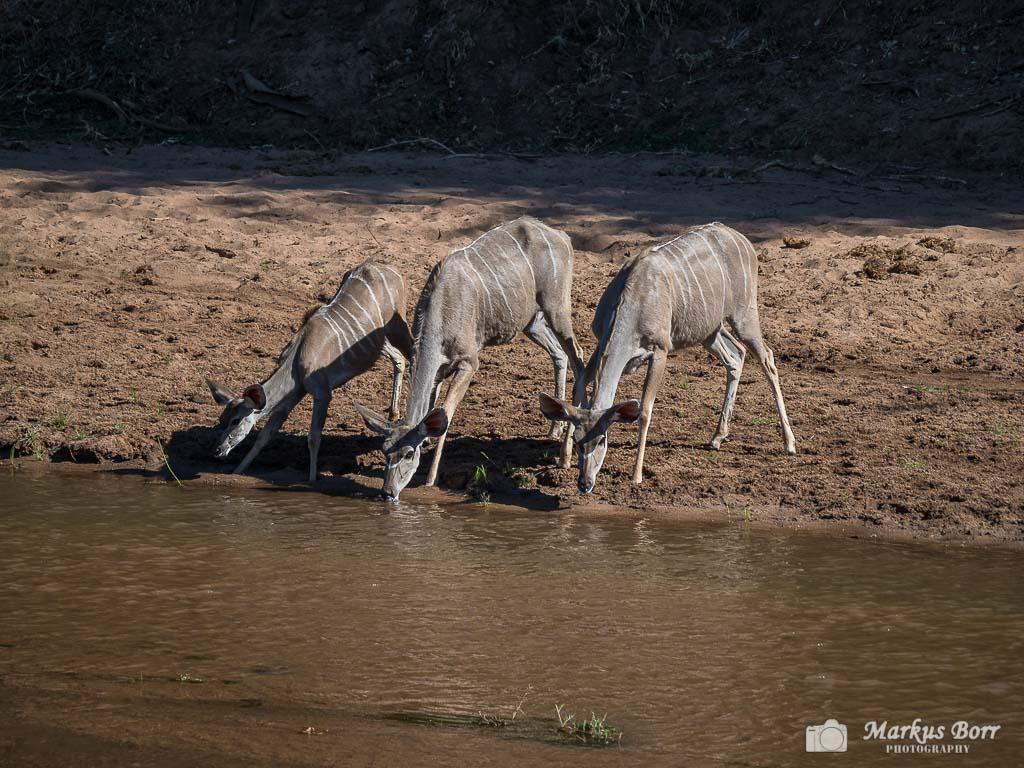 Kudu im Krüger