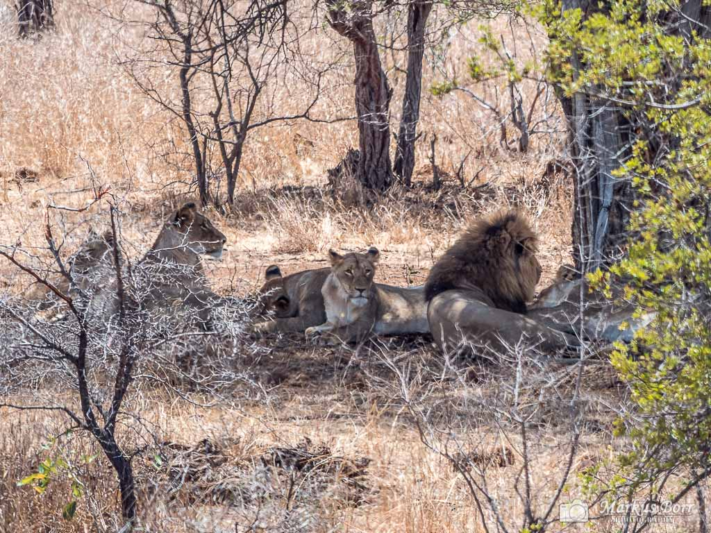 Löwen im Krüger