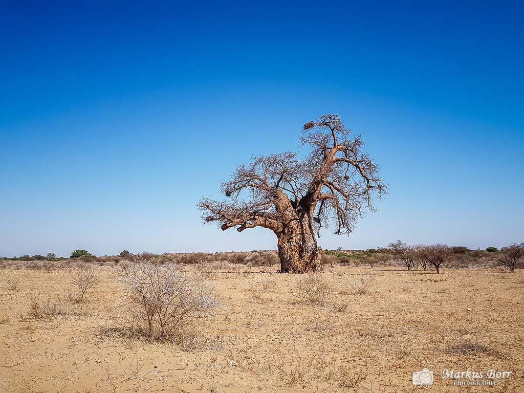 Baobab-Baum im Mapungubwe