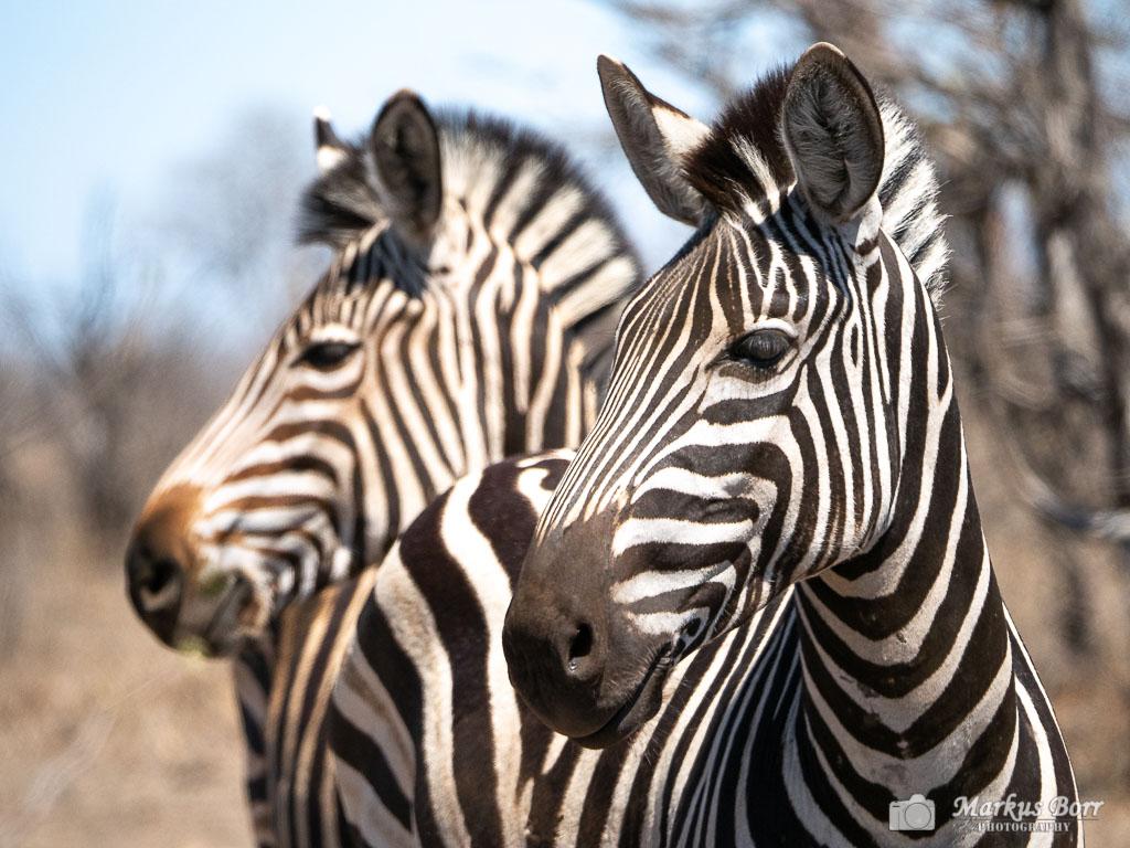 Zebras im Krüger